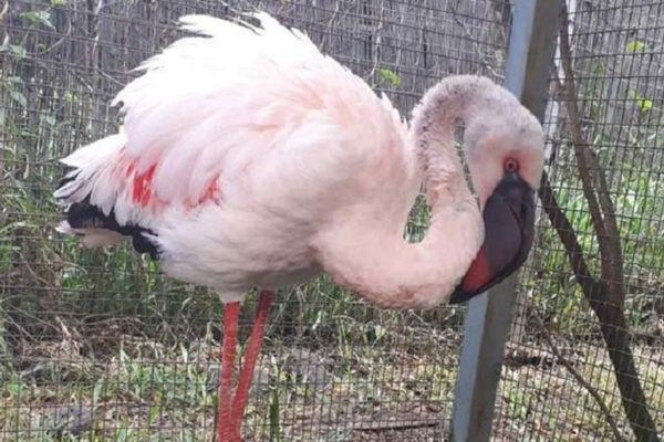 Maigre, affaibli et légèrement blessé, le flamant rose est pris en charge par des soignants