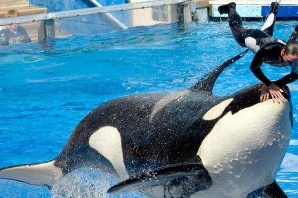 Seaworld annule son attraction vedette avec les orques