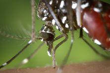 Moustique-tigre, une espèce envahissante
