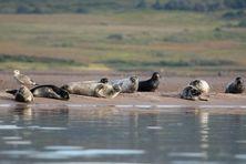 Une colonie de phoques dans le Grand Barachois.