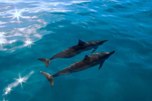 Dauphins - Super bébêtes Guadeloupe
