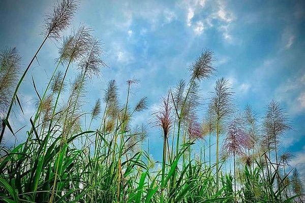 Ciel sur les champs de cannes de l'Est juillet 2020