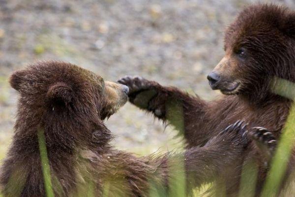C'est sérieux, les ours aussi apprécient les fellations