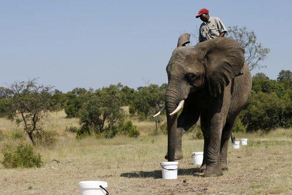 Des éléphants sud-africains entraînés à renifler les explosifs