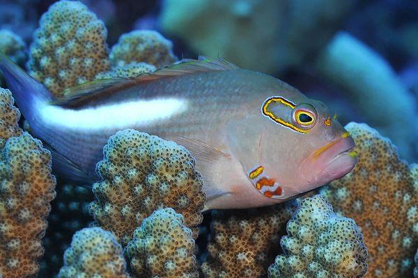 Poisson nageant dans les coraux