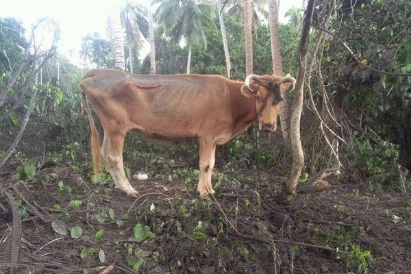 le bétail famélique