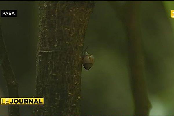 1 800 escargots lâchés à Paea