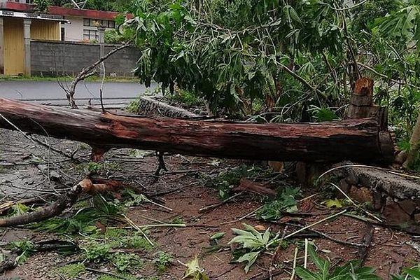 Arbre déraciné Rodrigues Gelena