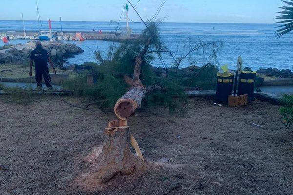 Filaos abattu sur le front de mer de Saint-Leu