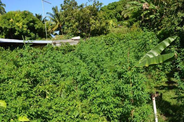 Près de 1 700 plants saisis