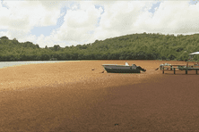 Les algues sargasses sont de retour sur certaines côtes de Martinique