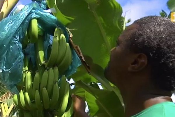 Planteur de banane