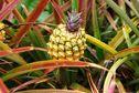 Quelles sont les conditions pour transporter des fruits depuis La Réunion?