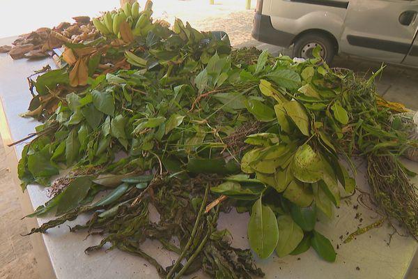 Plantes et médecines traditionnelles