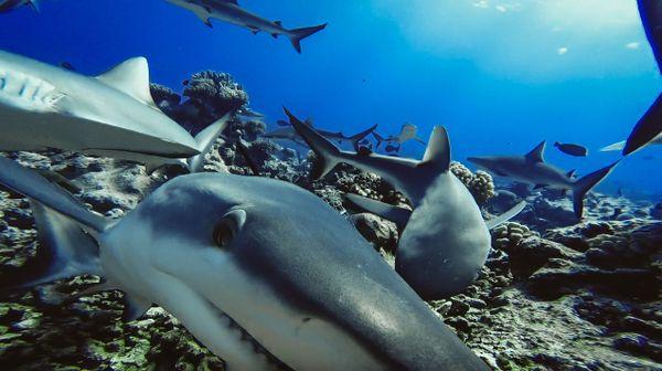 Requins 2