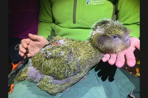 Le Kakapo, le perroquet qui renaît