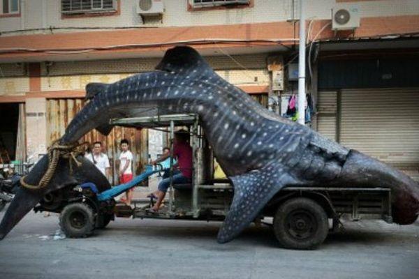 Même en Chine, le requin-baleine ne fait pas recette