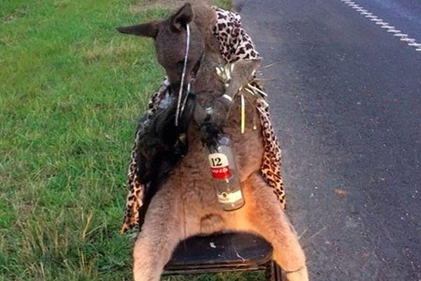 kangourou abattu