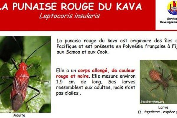 Punaise rouge du kava