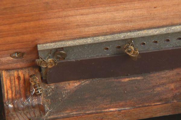 abeilles agressives
