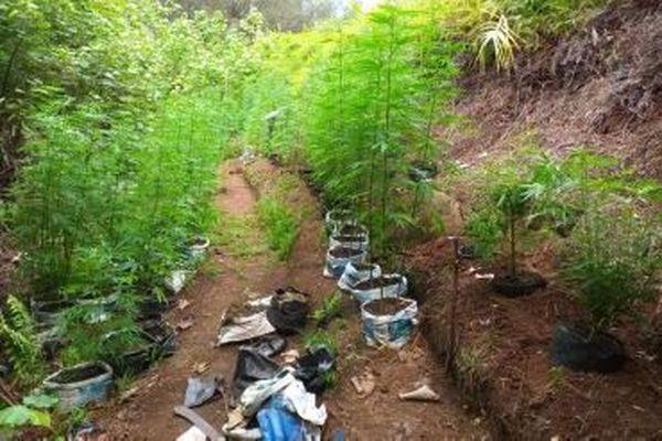 155 pieds de cannabis saisi à raivavae