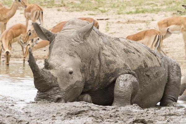 Rhinocéros kruger
