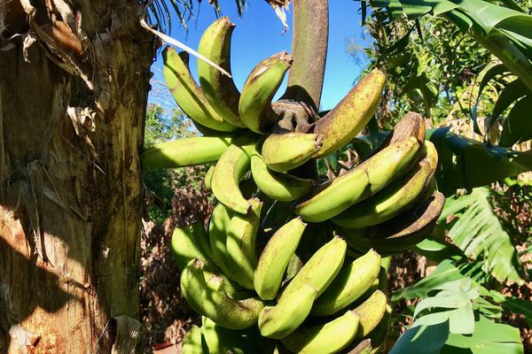 Maladie du Freckle Bananes