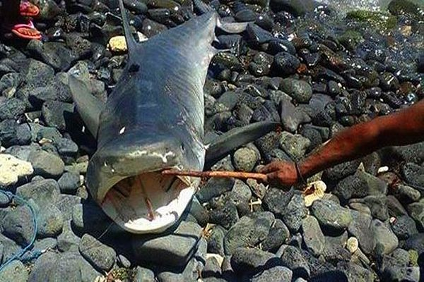 Requin tigre pêché à Maurice