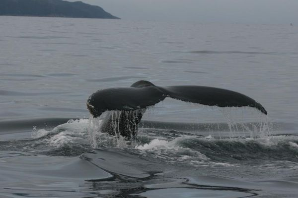 Baleine Saint-Pierre et Miquelon