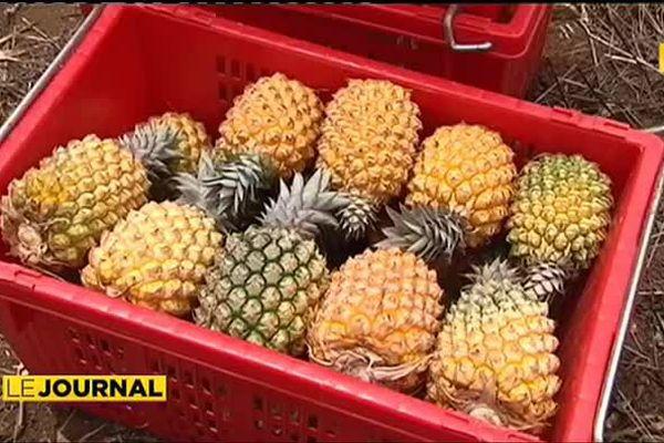 La Calédonie produit près de 400 tonnes d'ananas par an