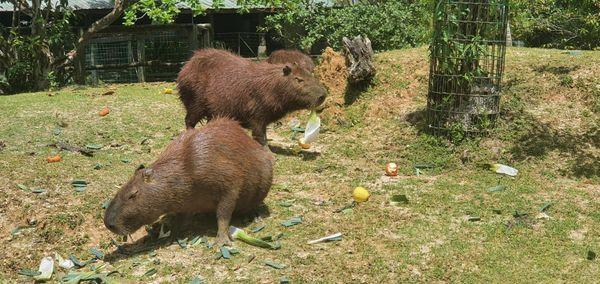 Tourisme : le zoo de Guyane se prépare à rouvrir au public.