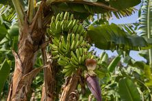 Plantation de bananes en Martinique.