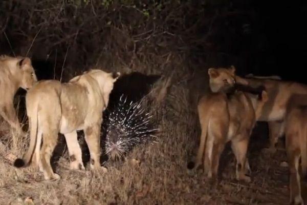 porc epic contre lions