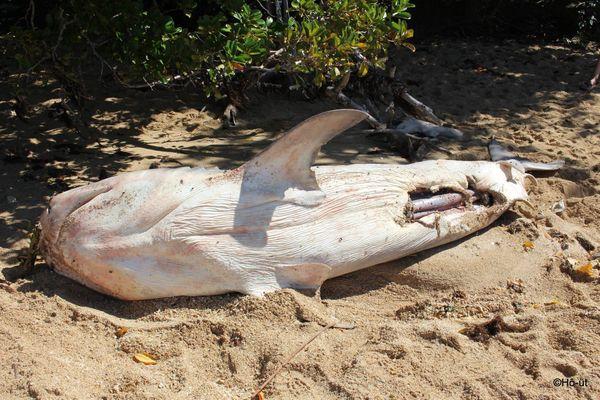 requin tigre mort échoué éventré