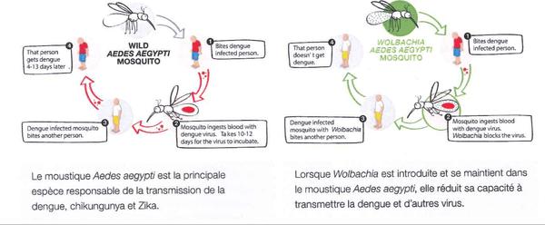 Wolbachia : la méthode