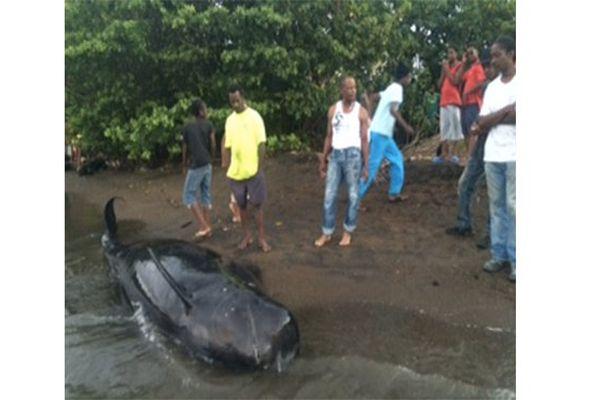 Cachalot mort à Trinité