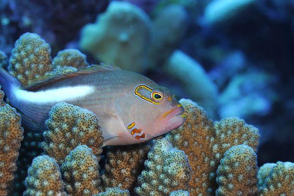 Corail du genre Pocillopora et poisson épervier dans l'archipel des Tuamotu (Polynésie Française)