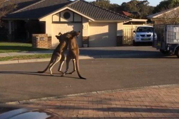 Australie : deux kanagourous se battent