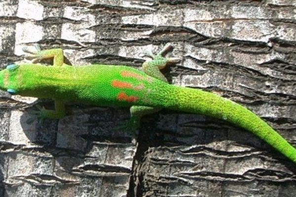 geckos maurice
