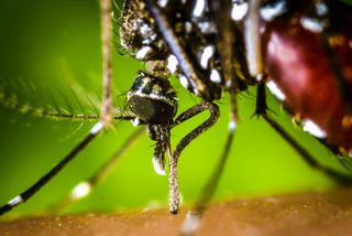 Chikungunya illustration