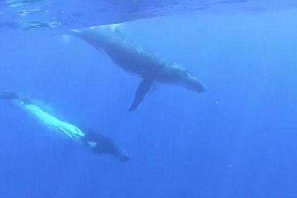 saison des baleines à tahiti