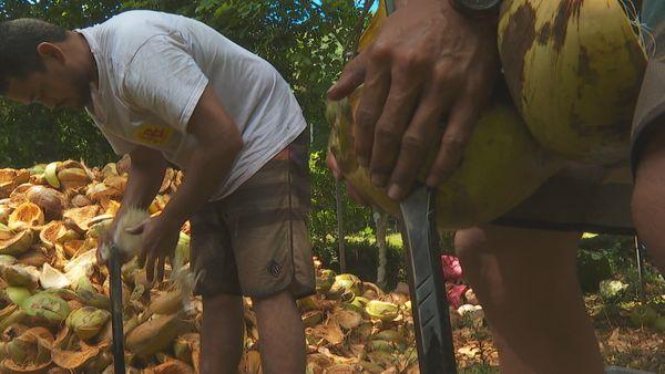 Huahine : le coco a de l'avenir