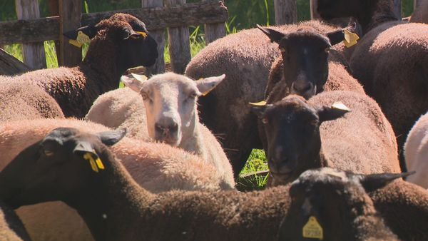 Elevage Mouton Agneau