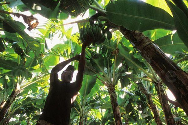 Traitement banane R.Dominicaine