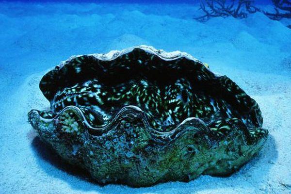 Les bénitiers polynésiens à la conquête des aquariums du monde entier