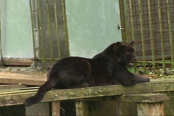 Le jaguar  Tama
