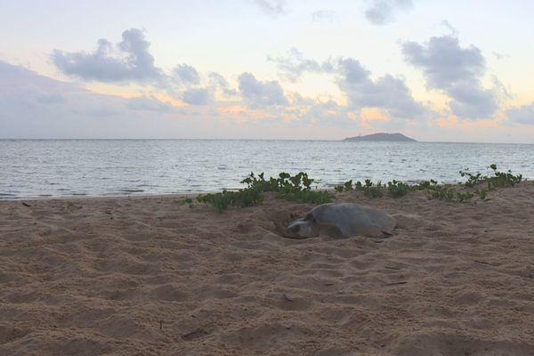 Des tortues olivâtres sur la plage de Montjoly