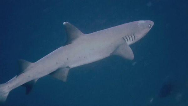requins pointe blanche malades indonésie
