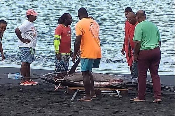 Un marlin de 250 kilos pêché au large du Prêcheur en Martinique