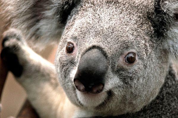 Koala test